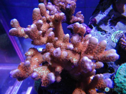 montipora-digitata-forest-fire-befor